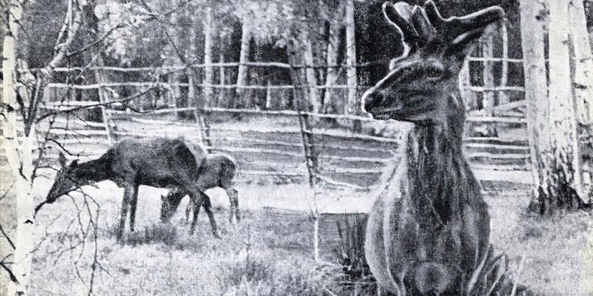 Маралы в сысертских лесах