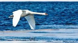 Лебеди на Урале