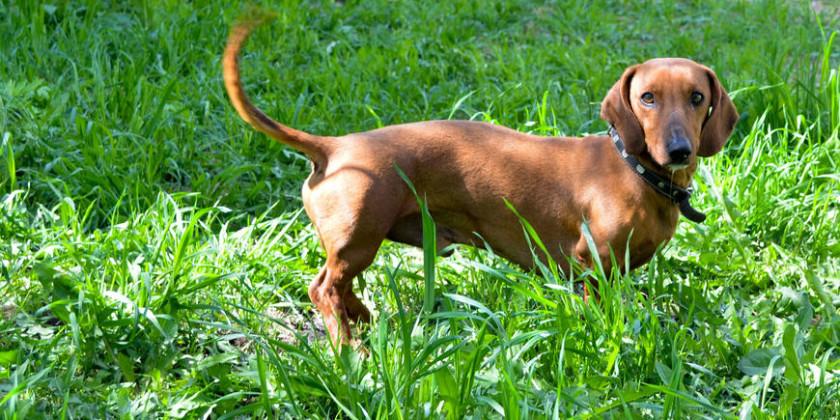 такса для выставки охотничьих собак на Майский экстрим 2016