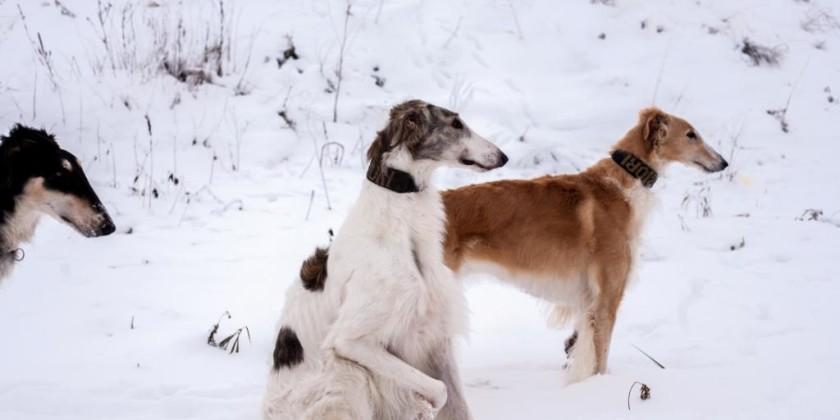 О современном состоянии борзых - Охотничьи собаки