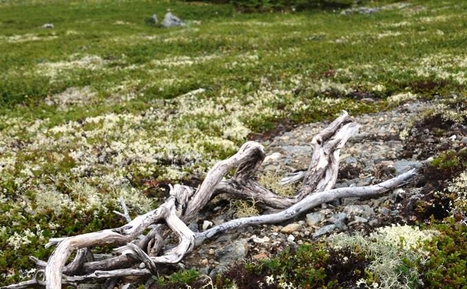 корни северных деревьев