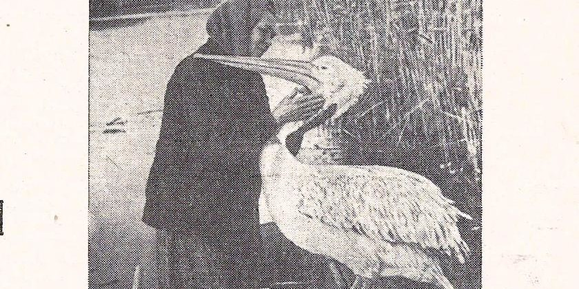 Пеликан Гоша