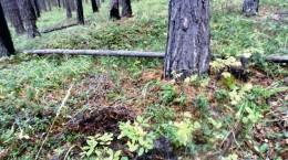Круги в сосновом лесу