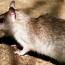 Внимание, Rattus!