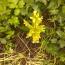 аллея мк ргокитайская елочка