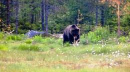 Бурый медведь средней и верхней Вишеры