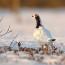 2020-03 Бесцеремонная птица — белая куропатка